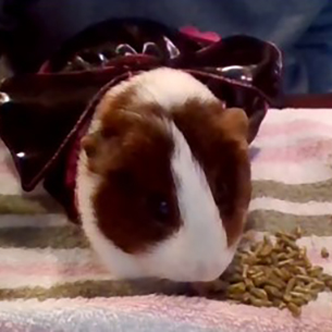 Freddie the Guinea Pig is pictured participating in the Paws for Love program.